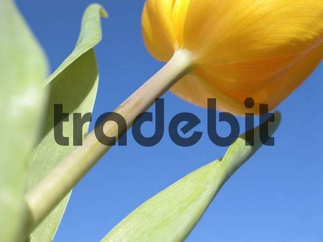 yellow tulip in front of blue sky
