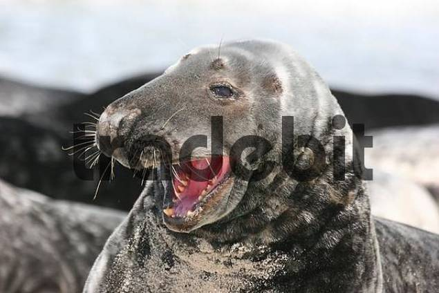 yawning horsehaed seal