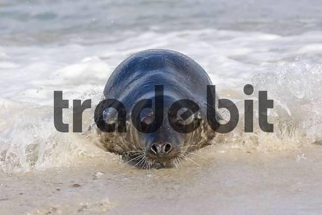 horsehead seal surfing onto the beach