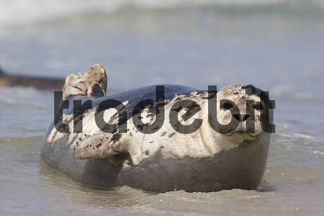 common seal lying on beach