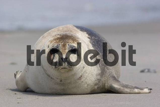 baby commom seal lying on the beach