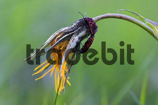meadow salsify tragopogon pratensis with firebugs Pyrrhocoris apterus frozen after a frosty night end of May.