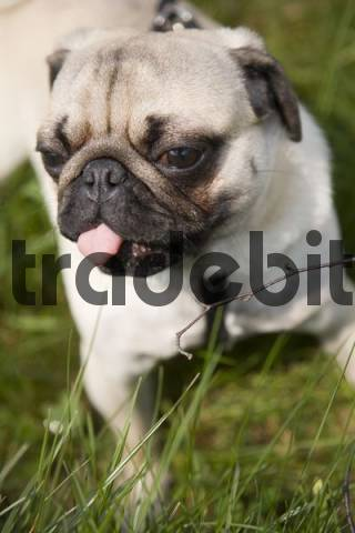 Young pug, poking out its tongue