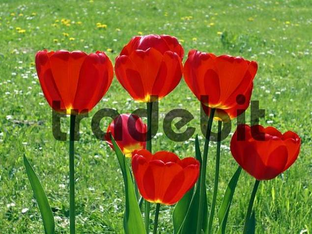 tulips on a meaddow