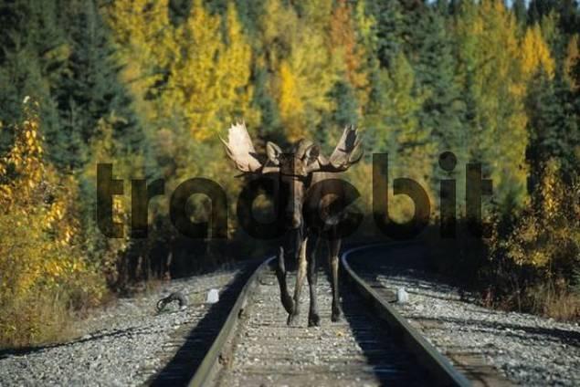 Moose or Elk bull Alces alces walking between railway tracks, Alaska, USA
