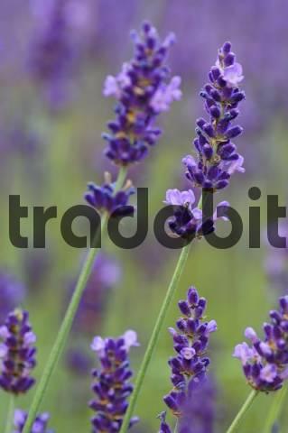 Lavender Lavendula angustifolia