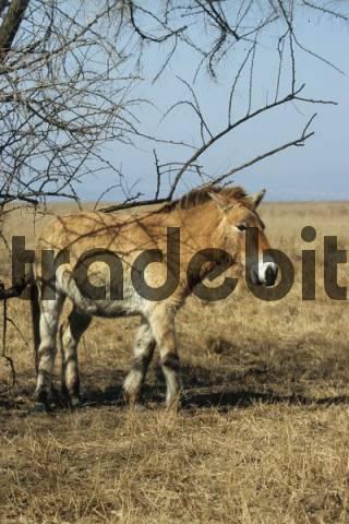 Przewalskis Horse Equus ferus przewalskii, Burgenland, Austria