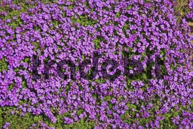 large flowered aubrieta rock cress or rockcress aubrieta x cultoru. Black Bedroom Furniture Sets. Home Design Ideas