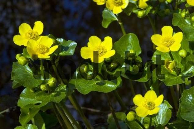 Flowering Kingcups or Marsh Marigolds Caltha palustris