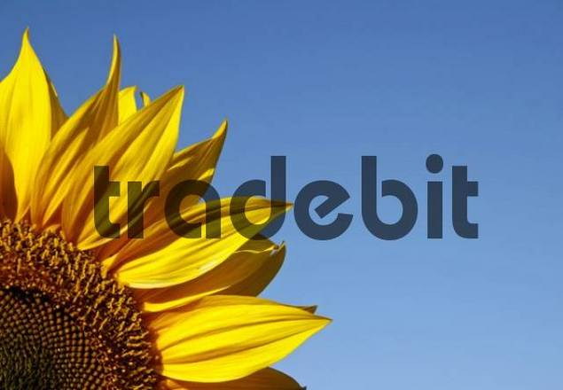 Sunflower blossom Helianthus annuus, detail