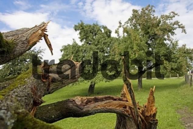 Storm damaged plum tree prunus domestica sense district for Domestica in svizzera