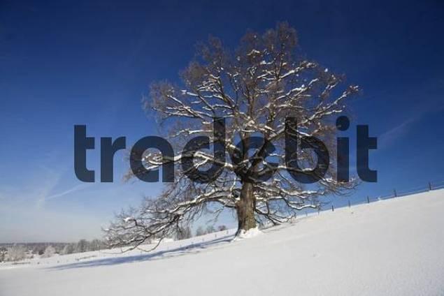 Pedunculate Oak tree Quercus robur in the snow, Upper Bavaria, Germany, Europe