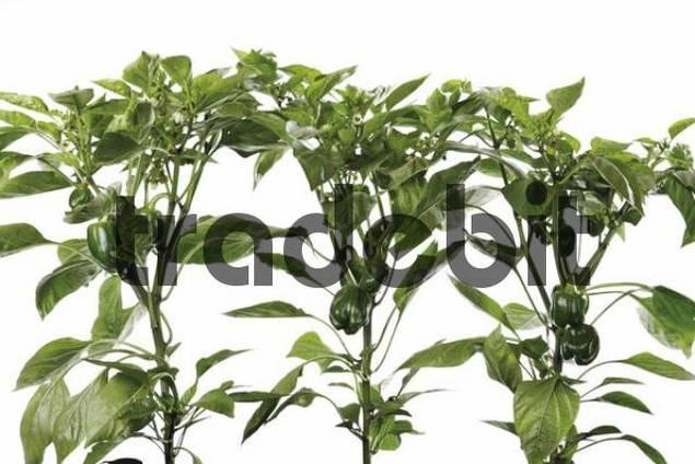 Pepper plants Capsicum