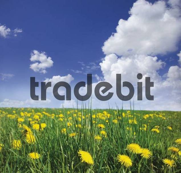 Dandelion meadow Taraxacum and spring sky