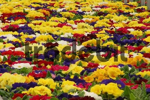 primrose in a gardening