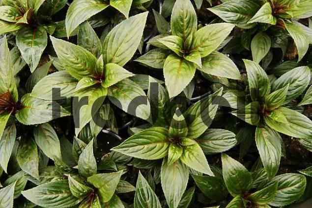 balcony plant Impatiens Paradise