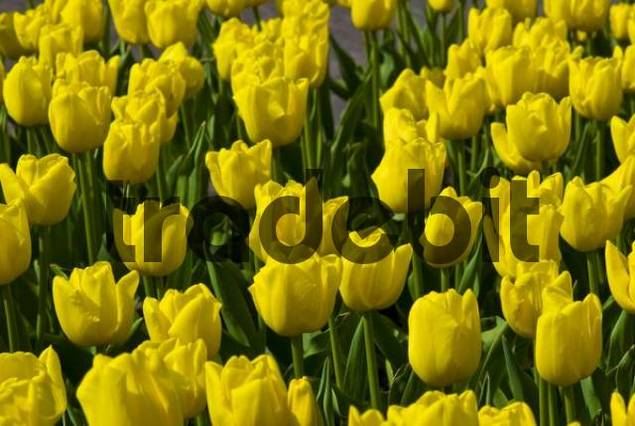 Tulips Tulipa, Keukenhof, Holland, Netherlands, Europe