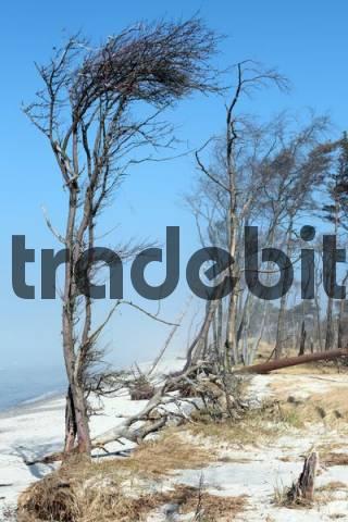 Windswept trees along the Baltic Sea coast, Prerow western beach, on Darss, Nationalpark Vorpommersche Boddenlandschaft, Western Pomerania Lagoon Area National Park, Mecklenburg-Western Pomerania,