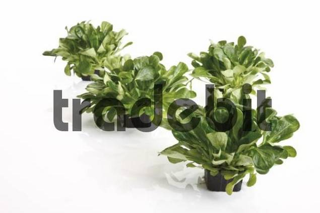 Field Salad, Lambs Lettuce or Corn Salad Valerianella locusta growing in four small black plastic pots