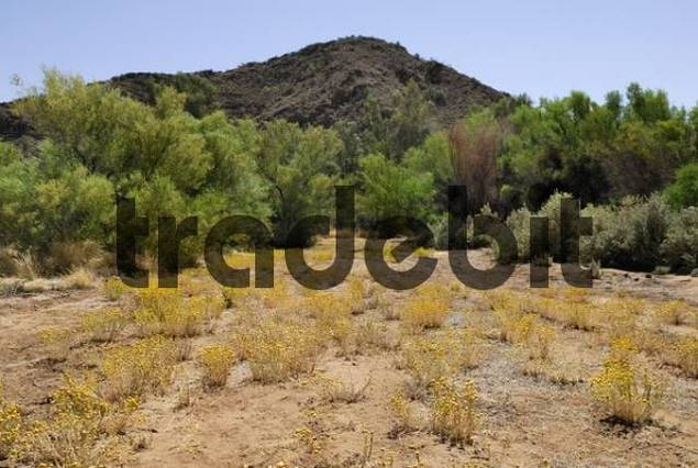 Billy Buttons or Drumsticks Craspedia globosa in bloom, East MacDonnell Ranges, Northern Territory, Australia