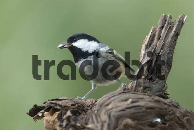 Coal Tit Parus ater at a feeding site, Cannes, Alpes Maritimes Department, France, Europe