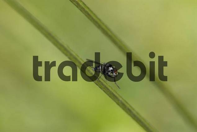 Fly Brachycera cleaning itself, Frejus, Var, France, Europe