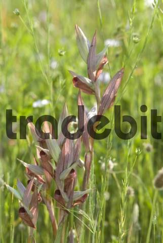 Long Lipped Tongue Orchid or Long-lipped Tongue-orchid Serapias vomeracea, Frejus, Var, France, Europe