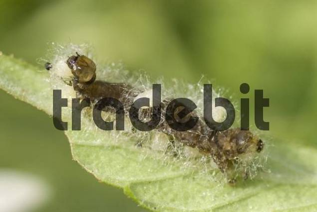Parasitized caterpillar. A certain type of wasp lays its eggs in the caterpillar, their inhabitants feeding off the caterpillar then leaving it to pupate beside its now empty shell, Cannes, Alpes-