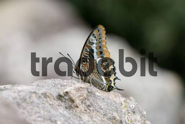 Two-tailed Pasha Charaxes jasius, the largest of the European butterflies, Frjus, Var, France, Europe