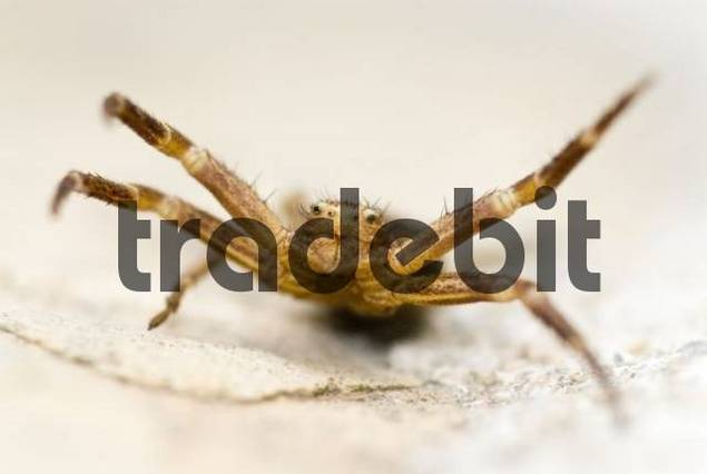 Crab Spider Thomisidae in a threatening, aggressive posture, Cannes, Alpes-Maritimes, France, Europe