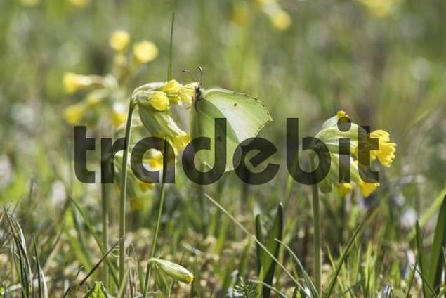 Brimstone Butterfly Gonepteryx rhamni perched on a Cowslip Primula veris