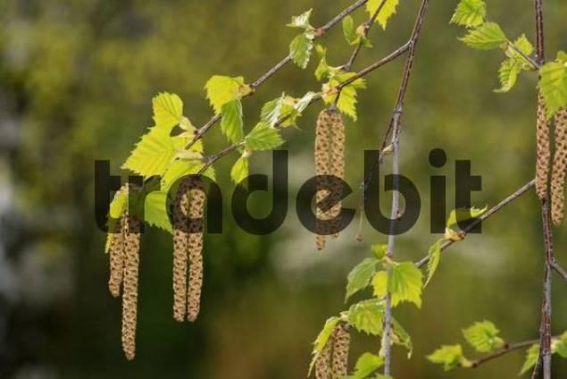 Silver Birch Betula pendula, catkins