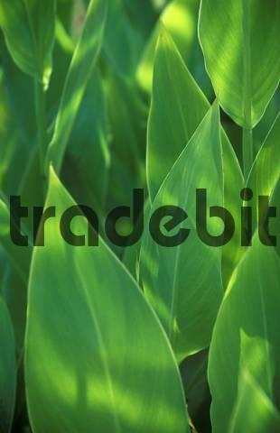 leafs macro