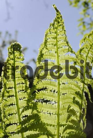 Freshly unrolled leaves of an Ostrich Fern Matteuccia struthiopteris