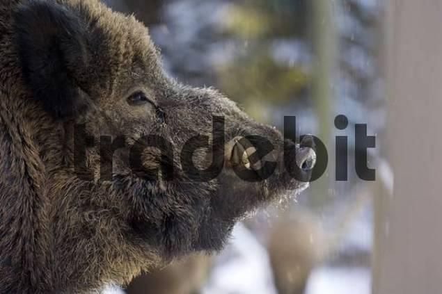 Wild Boar Sus scrofa, tusker, portrait, Black Forest, Germany