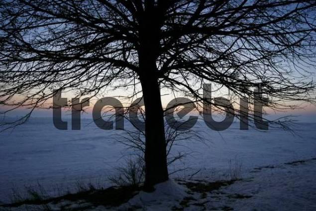 eafless tree