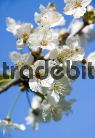 Cherry blossoms Cerasus
