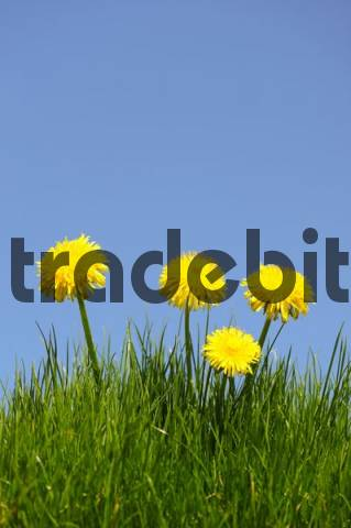 Dandelion Taraxacum officinale on a meadow