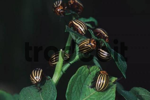 Colorado potato beetle Leptinotarsa decemlineata