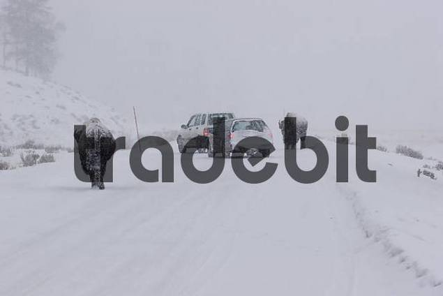 bison walking in a snowstorm on a road in Yellowstone National park