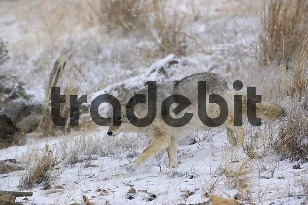 Coyote crossing Yellowstone National park in winter
