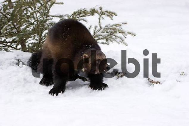 wolverine in winter with large paws