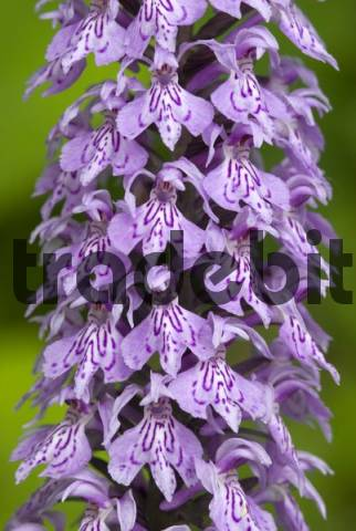 Common Spotted Orchid Dactylorhiza fuchsii, Lake Tristach, Lienz, East Tyrol, Austria, Europe