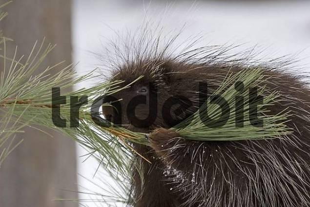 porcupine portrait in winter