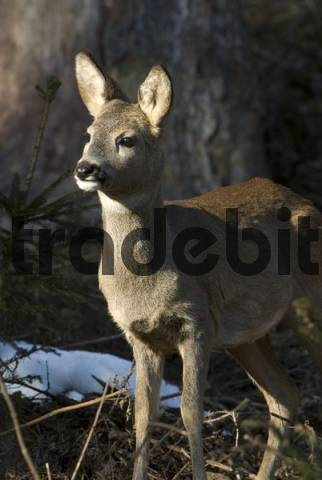 Roe Deer Capreolus capreolus, Vomperberg, Tyrol, Austria, Europe