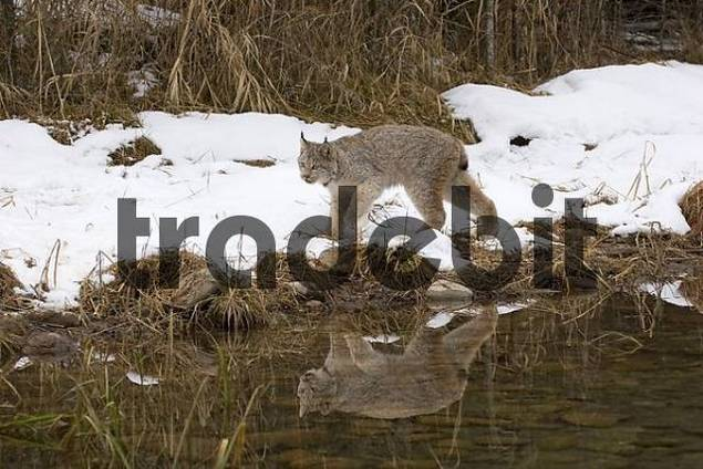canadian lynx in winter with reflection in the water