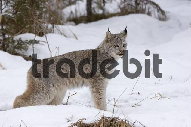 portrait of canadian lynx in winter