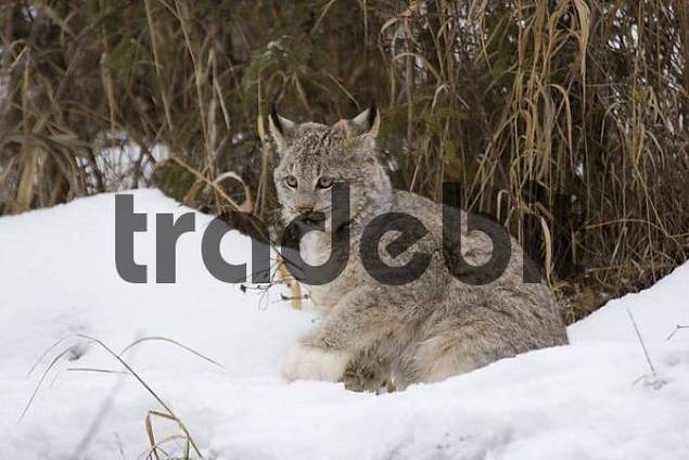 Canadian lynx lying in the snow