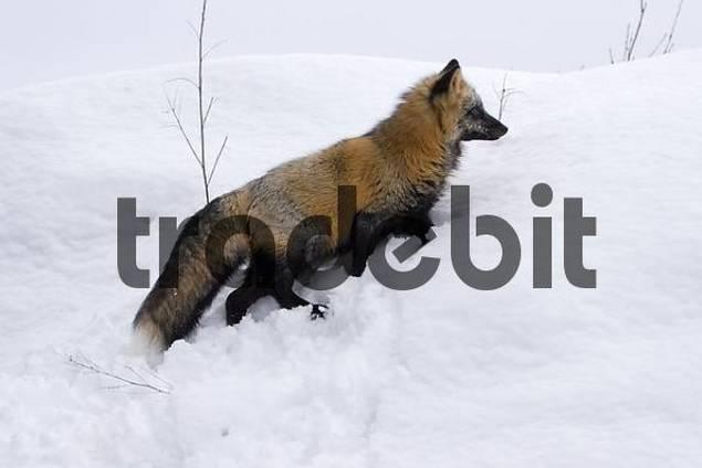 Crossfox in the snow