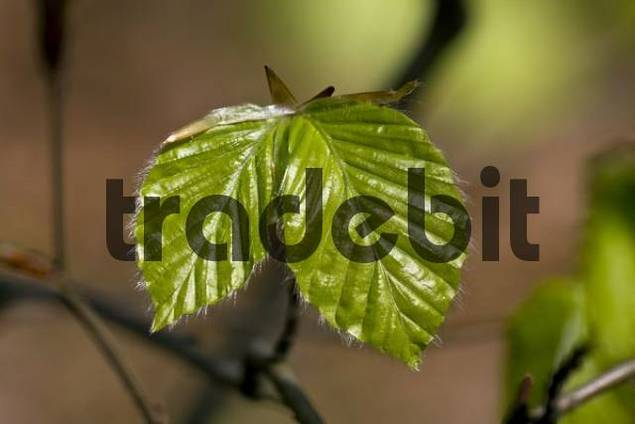 Spring foliage of the European Beech or Common Beech Fagus sylvatica in a beech forest, Schleswig-Holstein, Germany, Europe